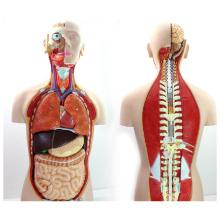 TORSO08 (12019) torso sem costas de 85cm com parte traseira aberta, modelo humano da anatomia de 18 porções para a ciência médica