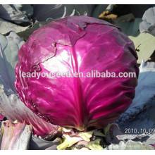 MC071 Zihong круглые фиолетовый с высокой урожайностью гибрид капусты семена, китайские семена овощных