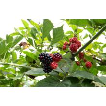 Individual Quick Freezin-IQF Orgânico Blackberry Zl-1005