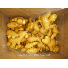 Fresh Ginger for Midlle East 150g and up