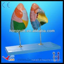 Traqueia humana Bronquês e pulmões modelo modelo de pulmões modelo