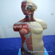Modelo de torso humano ISO Deluxe com Open Back, torso de sexo duplo de 32 partes