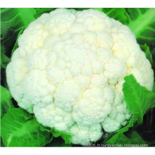 Fleur de chou-fleur congelée IQF de haute qualité