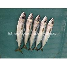Bqf Свежая рыба скумбрии