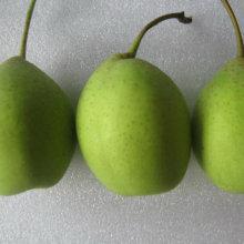 Gute Qualität der frischen grünen Ya Birne