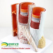 HEART16 (12492) Modelo anatômico da estrutura da artéria e da veia para a ciência médica