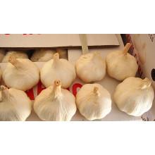 China Shandong frischen normalen weißen Knoblauch