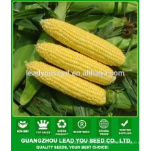 CO06 Taiwan No.28 amarelo super sementes de milho doce vendas