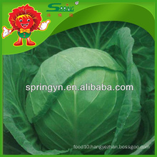 round shaped cabbage price of green cabbage