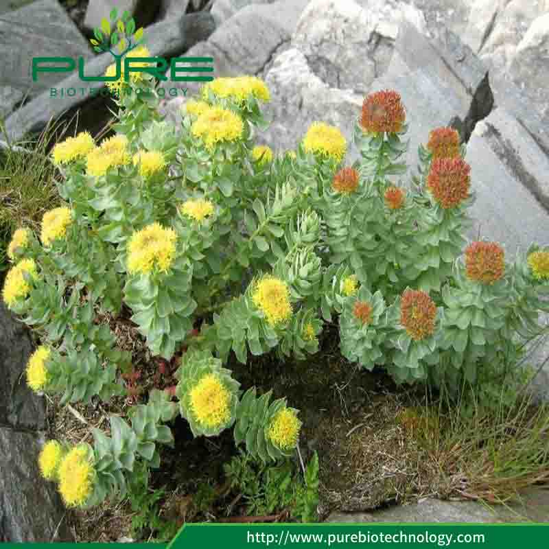 Pure Natural Dried Rhodiola Rosea Root High Rosavins 4