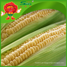 Maíz dulce maíz fresco maíz de calidad superior etible tipo maíz