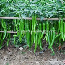 P05 graines de poivre vert chaud Xiangyan dans les graines de légumes, type de différence de graines