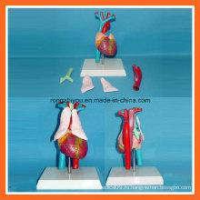 Человеческое медицинское сердце с моделью анатомии тимуса