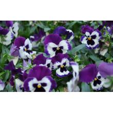 Pansy Herbal Cina yang Indah
