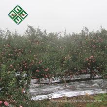 Chinesischer Granny Smith Apfel frischer Apfel für wholesalesale