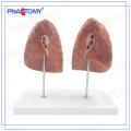 Modèle humain PNT-0475 du modèle pulmonaire gauche et droit