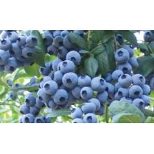 IQF congelación orgánica Blueberry Zl-160003