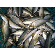 Pescado congelado de la caballa de los pescados de Bqf
