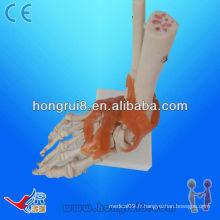 Modèle de squelette articulaire de taille humaine avec ligaments, joint en PVC