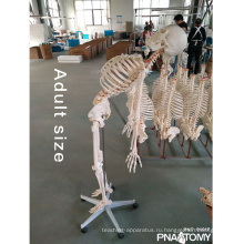 ПНТ-0101F модели 180см Тип скелета с гибкая модель позвоночника