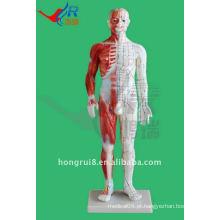 Masculino Acupuntura Modelo 60CM, modelo de acupuntura humana com músculo