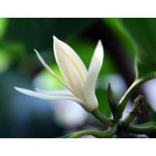 Растительное эфирное масло из чудо-листа