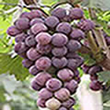 Extrait de peau de raisin