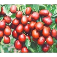 Getrocknetes organisches Datum, chinesische Datums-Frucht, getrocknetes chinesisches Datum