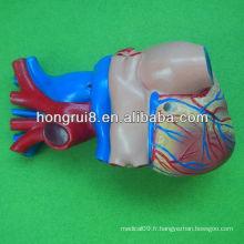 Modèle de coeur humain de taille de vie, modèle de coeur pour adultes