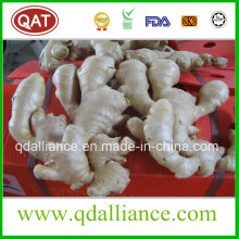 Fresh Fat Ginger with Good Quality and Competitive Price