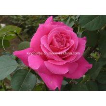 Óleo natural puro de Rosa, óleo refinado de Rosa, óleo essencial de Rosa