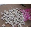 China Knoblauch Pflanzer / Großhandel Knoblauch