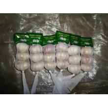 Récolte d'ail blanc frais régulière 2019