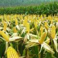 Agroquímico Arroz Herbicida Dicamba 98%