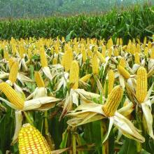 Агрохимический гербицид риса Дикамба 98%