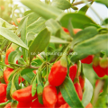 Low Pestcide Zhongning Goji Berry