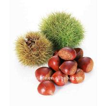 China de alta calidad Chestnut fresco