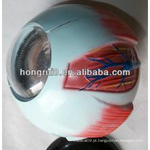 Modelo de globo ocular amplificado ISO, modelo de anatomia ocular