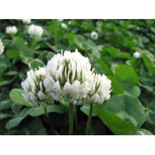 Touchhealthy Supply white clover seeds