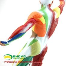 MUSCLE14(12308) мышц человека модель Анатомия скелета обучения 55см высотой