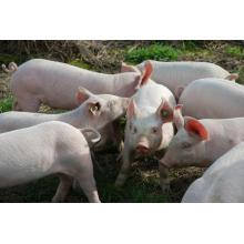 Natural zeolite for Feeding pigs