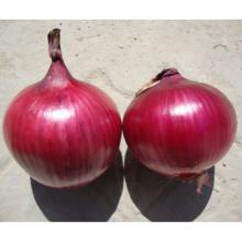 HON02 Indan rojo OP semillas de cebolla precio