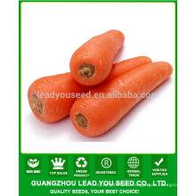 JCA01 Luobo high yield five inch carrot seeds