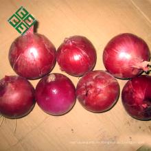frische kleine Zwiebel aus China exportieren