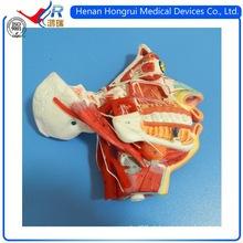 Modelo facial facial ISO com vaso sanguíneo e nervos