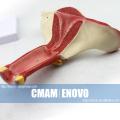 ANATOMY06 (12444) Modelo anatômico do Modelo Anatômico de Órgãos Genitais Internos Femininos