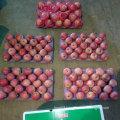 Good Quality of Fresh Qinguan Apple