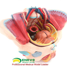 ANATOMY39 (12626) Muscle du bassin féminin, grandeur nature Plastic Pelvis Medical Anatomy Models