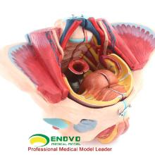 ANATOMY39(12626) женского таза мышцы, жизнь пластик Размер таза медицинский анатомии модели