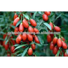 Fruta roja de níspero, viña de matrimonio chino Barbary Fruta de Wolfberry Fructus lycii Bayas secas de Goji Ningxia secado Goji Berry